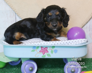 Janie, female Dachshund puppy