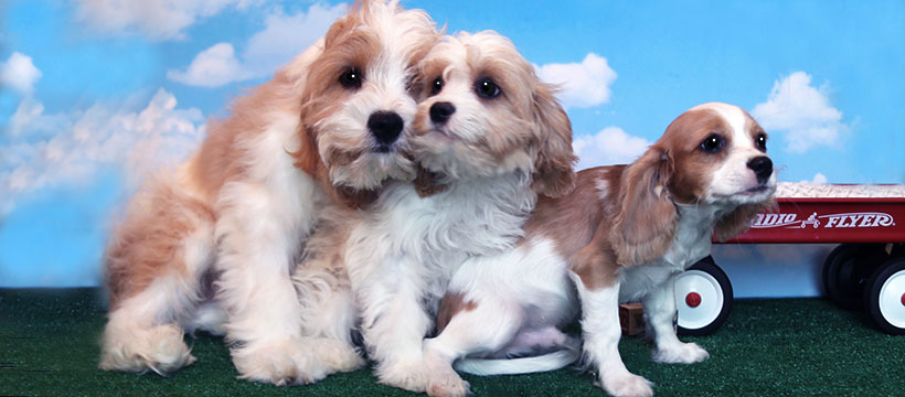 Cavachon Siblings