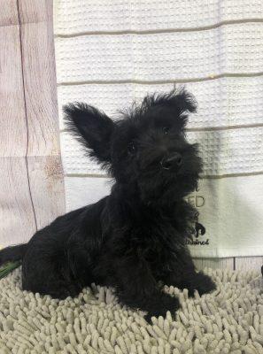 Roger (M) – Scottish Terrier
