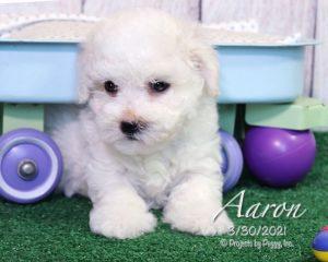 Aaron, male Havachon puppy