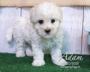 Adam, male Havachon puppy
