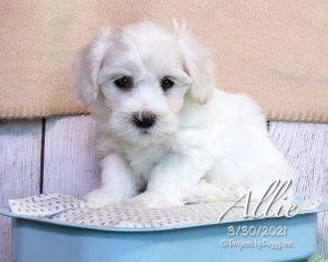 Allie, female Havachon puppy