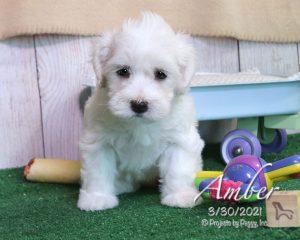 Amber, female Havachon puppy