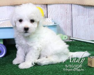 Andy, male Havachon puppy