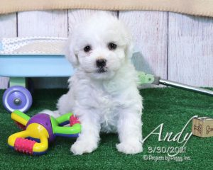 Andy, male Havachon puppy
