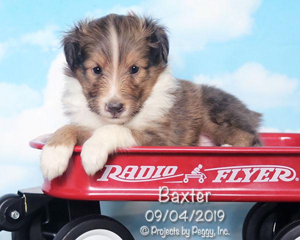 Baxter, male Shetland Sheepdog puppy
