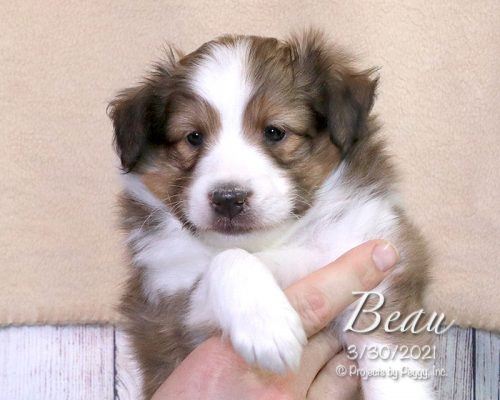 Beau (M)- Shetland Sheepdog