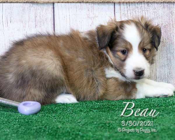 Beau, male Shetland Sheepdog puppy