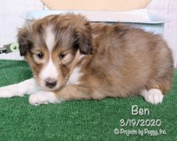 Ben, male Shetland Sheepdog puppy