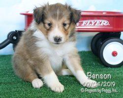 Benson, male Shetland Sheepdog puppy