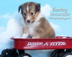 Bentley, male Shetland Sheepdog puppy