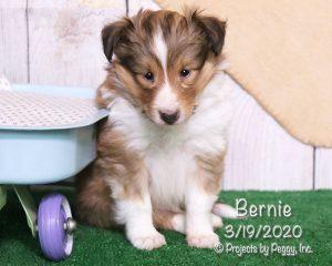 Bernie, male Shetland Sheepdog puppy