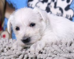 Betsy, female Miniature Schnauzer puppy