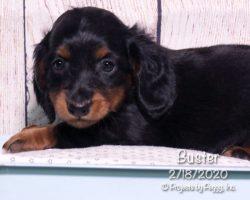 Buster, male Miniature Dachshund puppy
