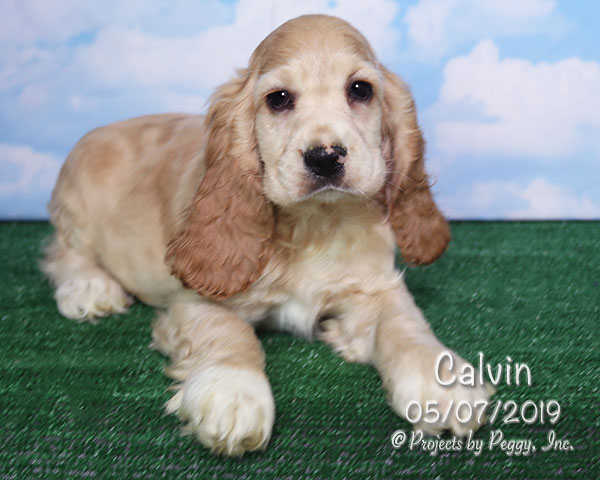 Calvin, male Cocker Spaniel puppy
