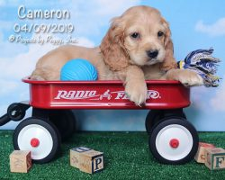 Cameron, male Cocker Spaniel puppy