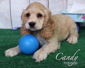 Candy, female Cocker Spaniel puppy