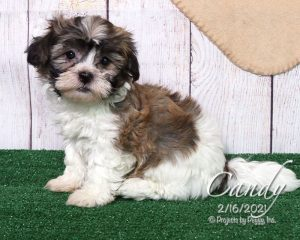 Candy, female Shichon puppy