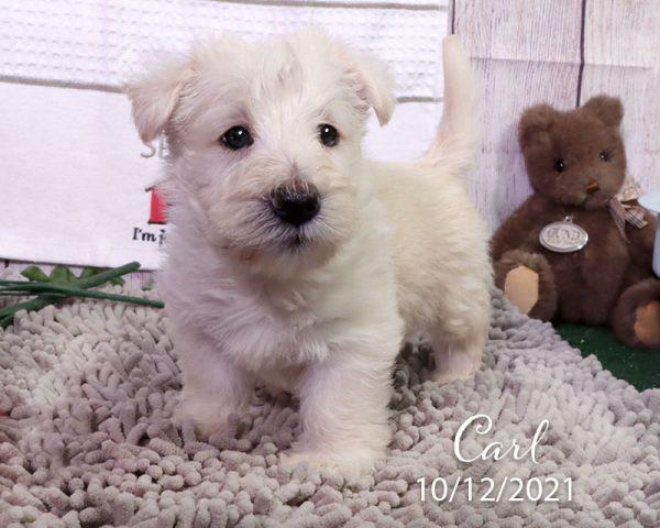 Carl, male Scottish Terrier puppy
