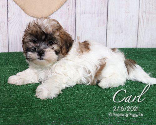 Carl (M) – Shichon aka Teddy Bear