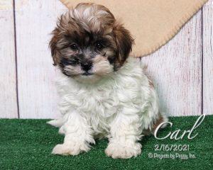 Carl, male Shichon puppy