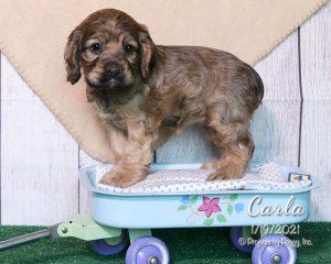 Carla, female Cocker Spaniel puppy