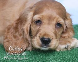 Carlos, male Cocker Spaniel puppy