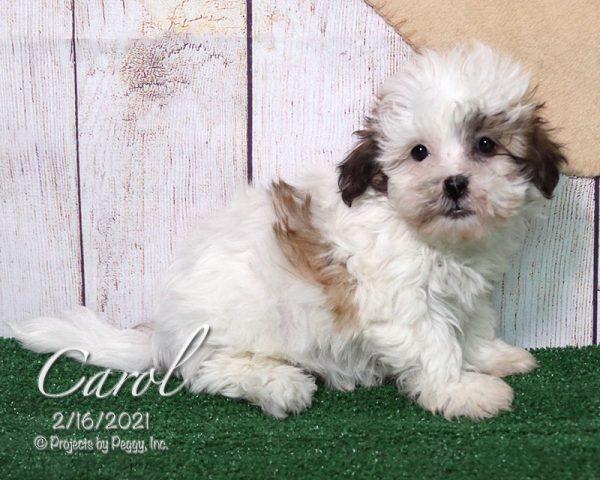 Carol, female Shichon puppy