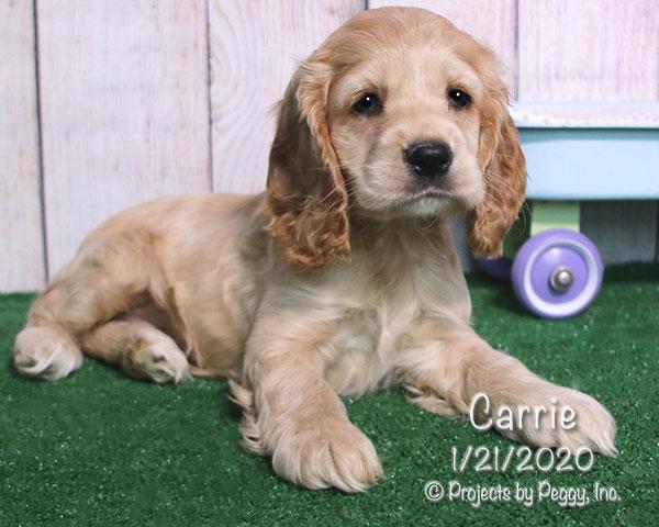Carrie, female Cocker Spaniel puppy