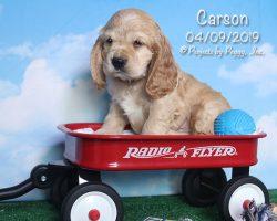Carson, male Cocker Spaniel puppy