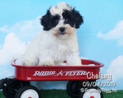Chelsey, female Havachon puppy
