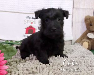 Chloe, female Scottish Terrier puppy