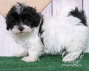 Cindy, female Shichon puppy
