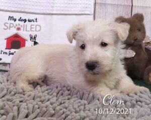 Clem, male Scottish Terrier puppy
