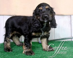 Coffee, female Cocker Spaniel puppy