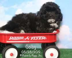 Colby, male Shihpoo puppy