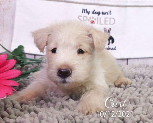 Curt (M) – Scottish Terrier