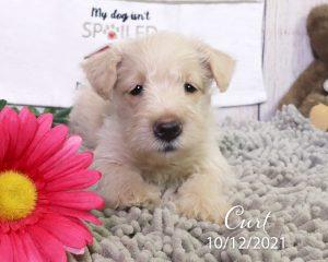 Curt, male Scottish Terrier puppy