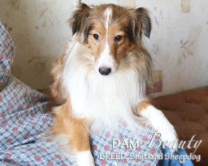 DAM: Beauty (Shetland Sheepdog)