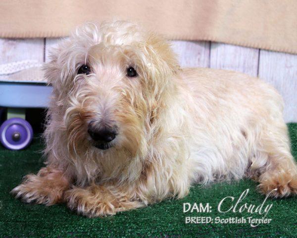 DAM: Cloudy (Scottish Terrier)