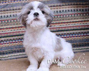 DAM: Cookie (Shih Tzu)