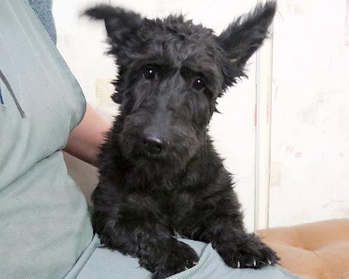 DAM: Dutchess (Scottish Terrier)