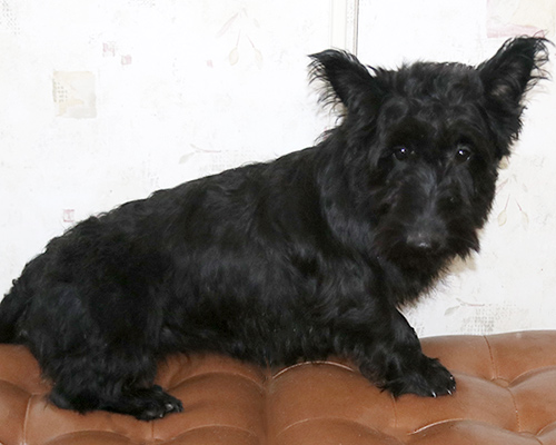 DAM: Jemima (Scottish Terrier)