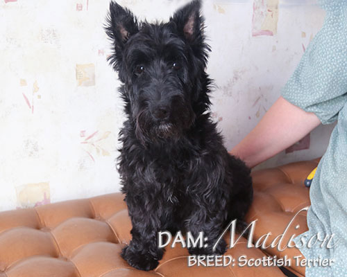 DAM: Madison (Scottish Terrier)