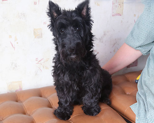 DAM: Madison (Scottish Terrier) - 23#
