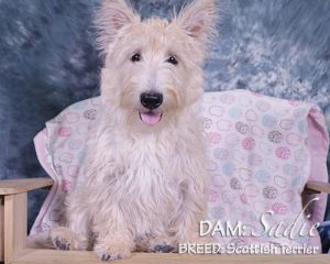 DAM: Sadie (Scottish Terrier)