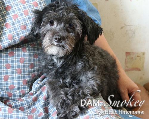 DAM: Smokey (Havanese)