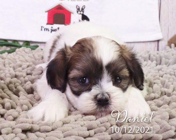Daniel, male Coton Tzu puppies