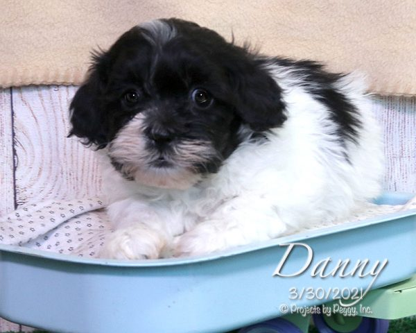 Danny, male Shichon puppy