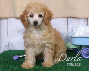 Darla, female Miniature Poodle puppy